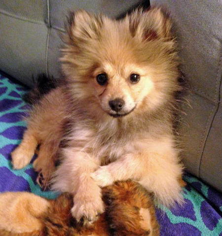 Kirby the Pomerian Pictures 1023359