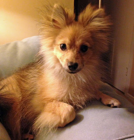 Kirby the Pomerian Pictures 1023361