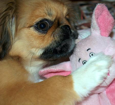 Kit Kat the Pekingese Pictures 791078