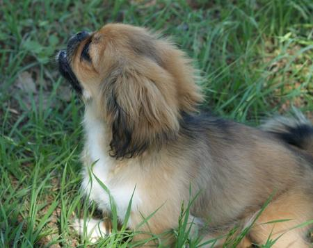 Kit Kat the Pekingese Pictures 791080