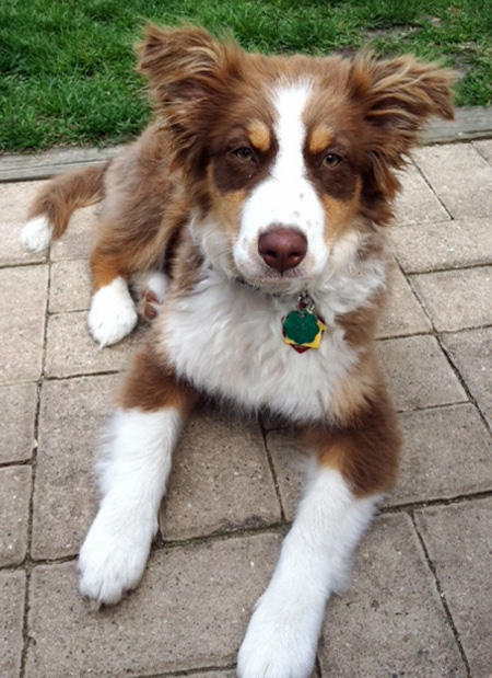 Kiva the Australian Shepherd  Pictures 785067