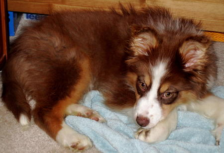 Kiva the Australian Shepherd  Pictures 785068
