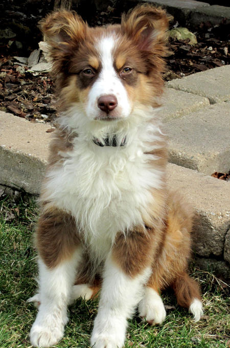 Kiva the Australian Shepherd  Pictures 785070