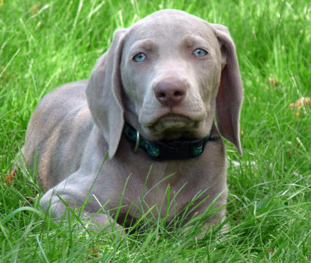 Kix the Weimaraner Pictures 948248
