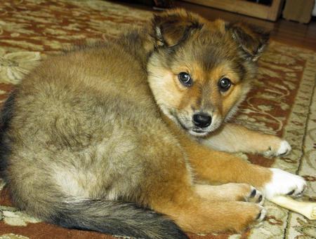 Kiya the Shetland Sheepdog Pictures 943746