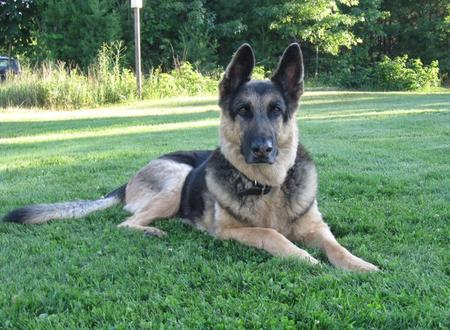 Klint the German Shepherd Pictures 472001