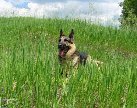 Klint the German Shepherd Pictures 472002