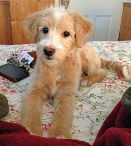 Kobi the Miniature Goldendoodle Pictures 975802