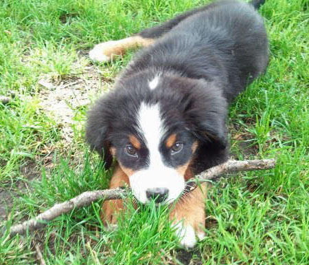 Koda the Bernese Mountain Dog Pictures 870499