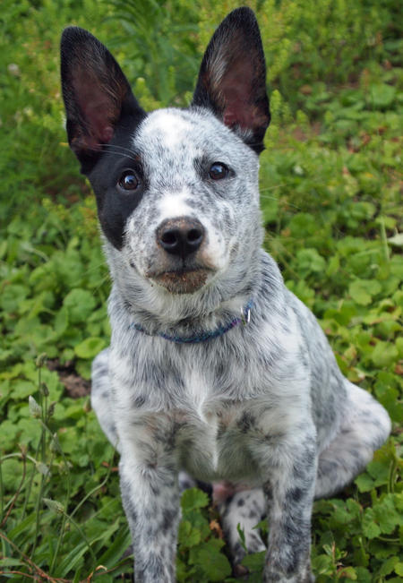 Koda the Cattle Dog Mix Pictures 1042929