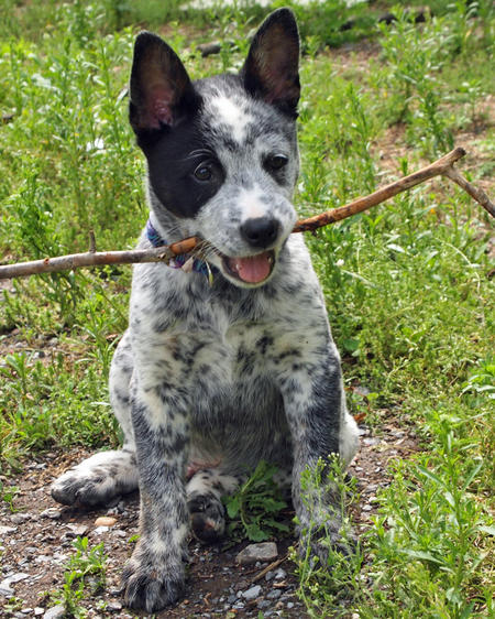 Koda the Cattle Dog Mix Pictures 1042932