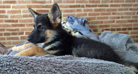 Koda the German Shepherd Pictures 1028808