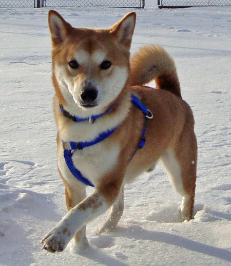 Koda the Shiba Inu Pictures 547639