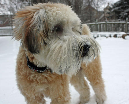 Koda the Soft Coated Wheaten Terrier Pictures 897771