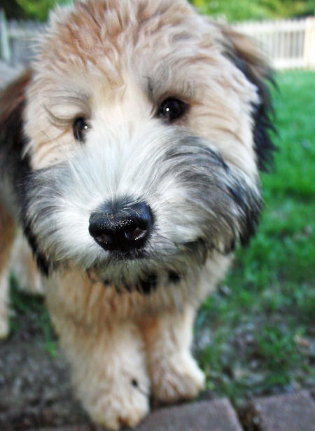 Koda the Soft Coated Wheaten Terrier Pictures 897773