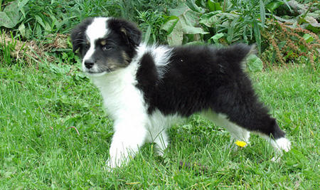 Kodak the Australian Shepherd Pictures 930930