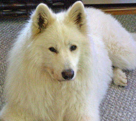 Kodiak the Samoyed Pictures 825375