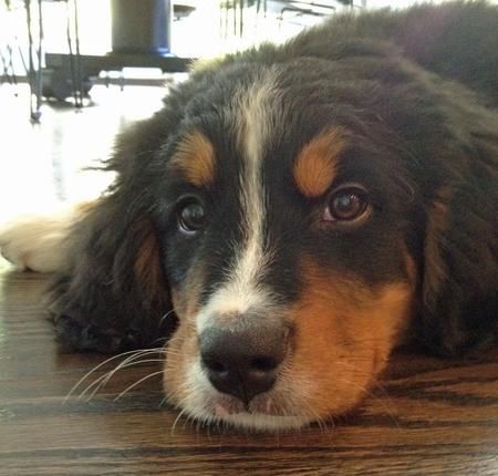Kona the Bernese Mountain Dog Pictures 898015