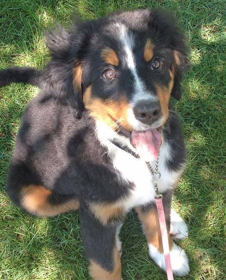 Kona the Bernese Mountain Dog Pictures 898013