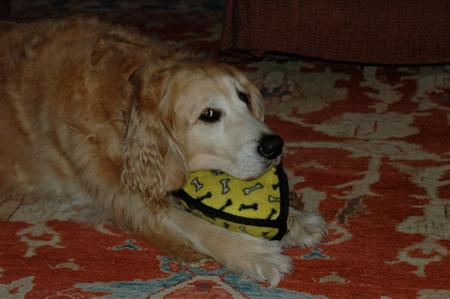 Kona the Golden Retriever Pictures 552490