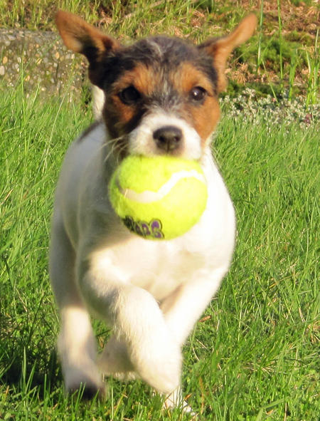 Kona the Jack Russell Terrier Pictures 769389