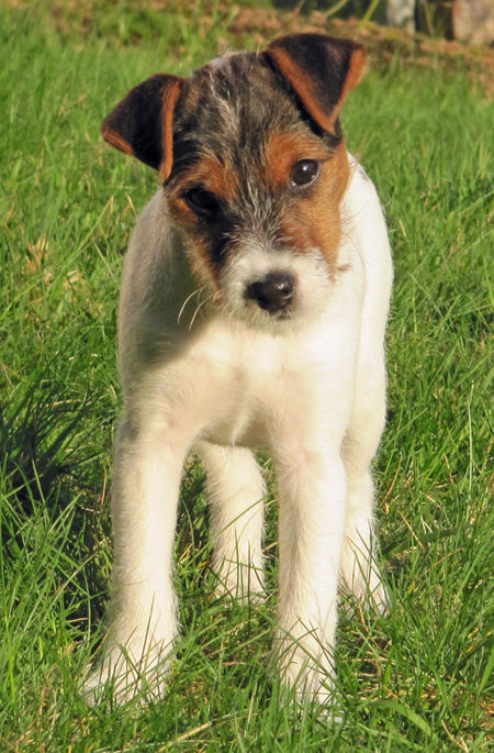 Kona the Jack Russell Terrier Pictures 769391