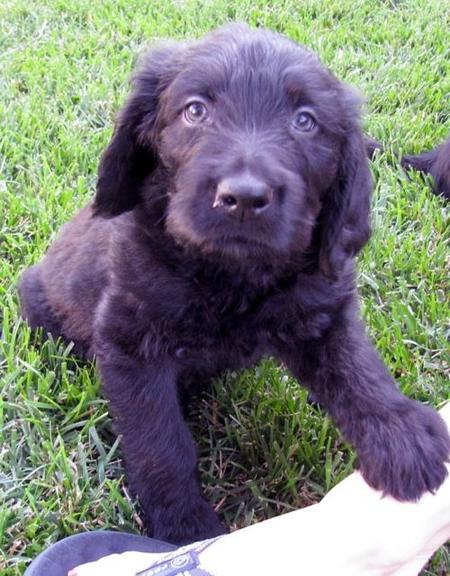 Kona the Labradoodle Pictures 947155