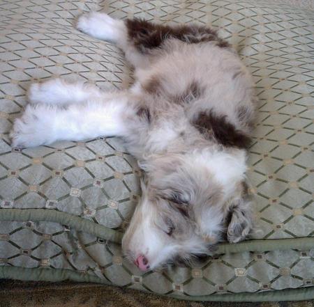 Kora the Australian Shepherd Mix Pictures 1027721