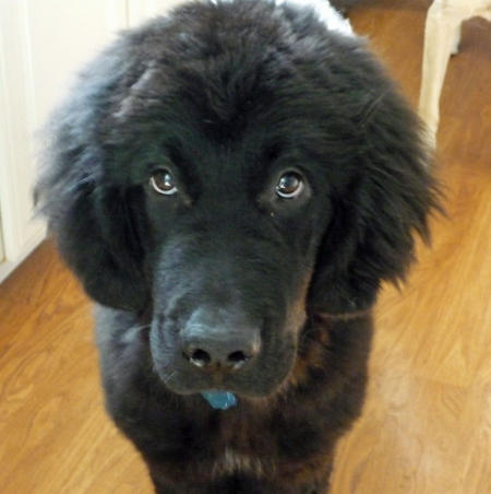 Kosmo the Newfoundland Pictures 1015890