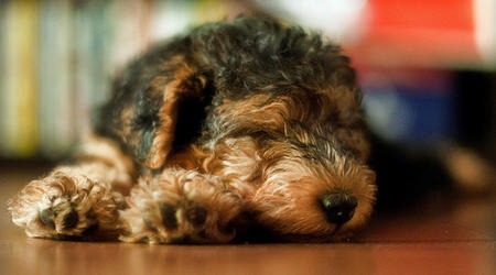 Kovu the Lakeland Terrier Pictures 665008