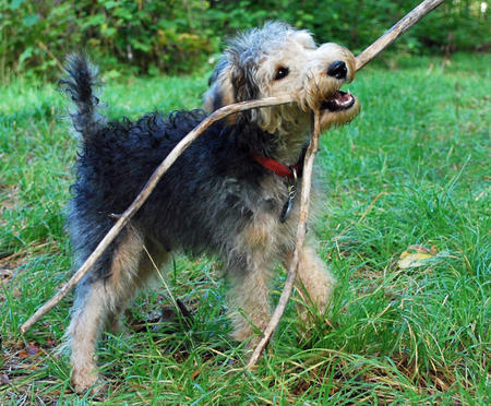 Kovu the Lakeland Terrier Pictures 665014