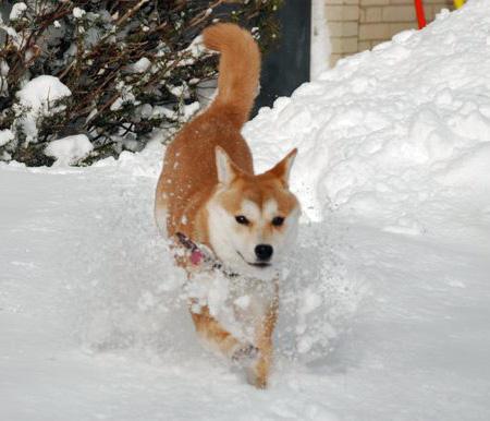 Kuma the Shiba Inu Pictures 1051661
