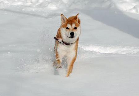Kuma the Shiba Inu Pictures 1051662