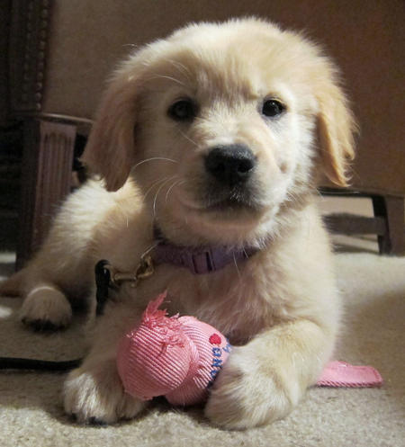 Kylie the Golden Retriever Pictures 935003