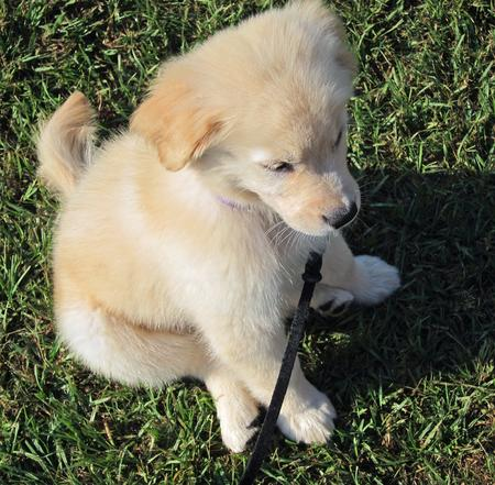 Kylie the Golden Retriever Pictures 935004