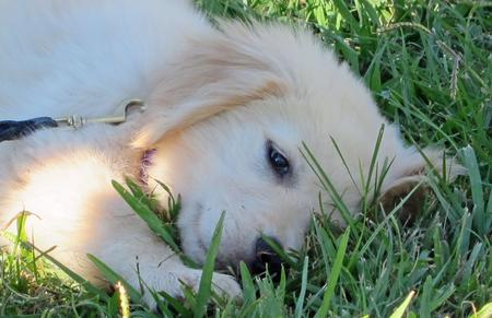 Kylie the Golden Retriever Pictures 935006