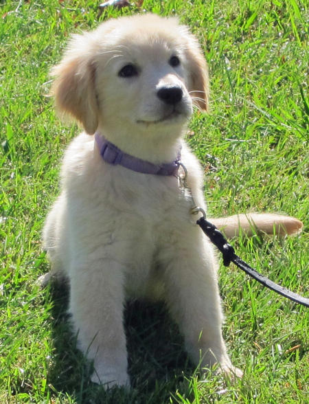 Kylie the Golden Retriever Pictures 935002