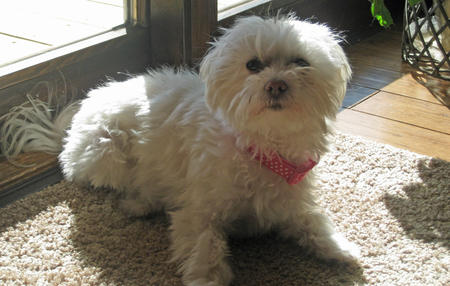 Laci the Maltese Pictures 785258