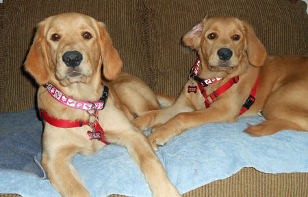 Lacie and Kacie the Golden Retrievers Pictures 1012346