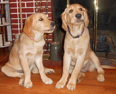 Lacie and Kacie the Golden Retrievers Pictures 1012347