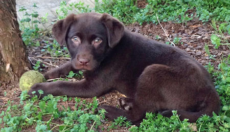 Lacy Ann the Labrador Retriever Pictures 1009828