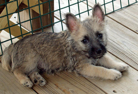 Laddie the Cairn Terrier Pictures 889704
