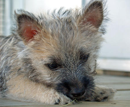 Laddie the Cairn Terrier Pictures 889705