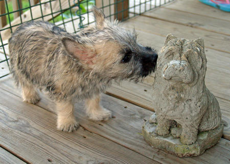 Laddie the Cairn Terrier Pictures 889706