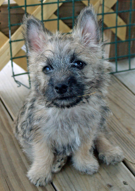 Laddie the Cairn Terrier Pictures 889702