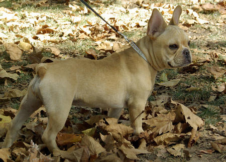Lady the French Bulldog Pictures 640076