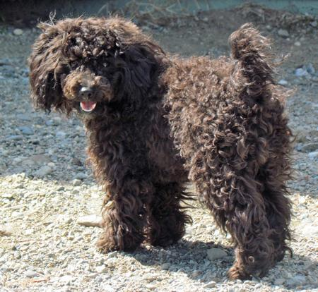 Lady the Poodle Pictures 970685