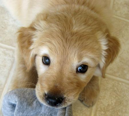 Laika the Golden Retriever Mix Pictures 804055