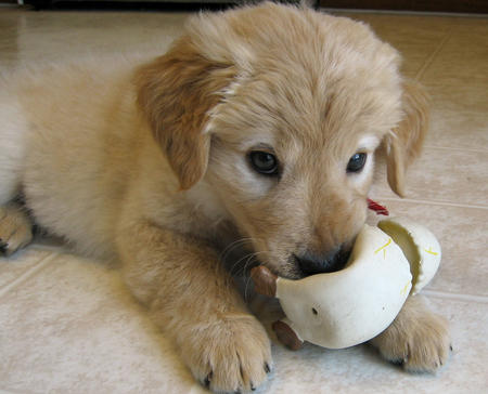 Laika the Golden Retriever Mix Pictures 804057