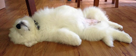Laika the Samoyed Pictures 986386